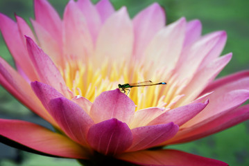 Water lily closeup with dragonfly