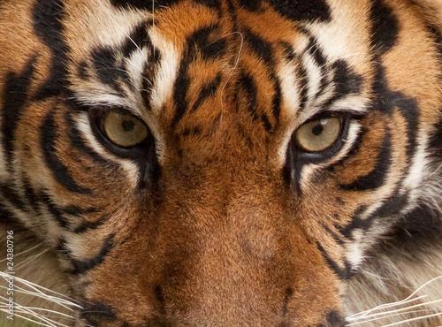 Papiers peints Tigre Tiger Portrait
