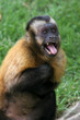 Capuchin monkey threat