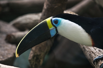 White-throated Toucan, Ramphastos tucanus