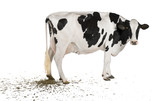 Holstein cow pooping, 5 years old, in front of white background