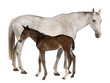 Mare and her foal, 14 years old and 20 days old, standing