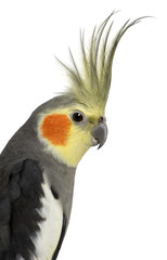 Cockatiel, Nymphicus hollandicus, in front of white background