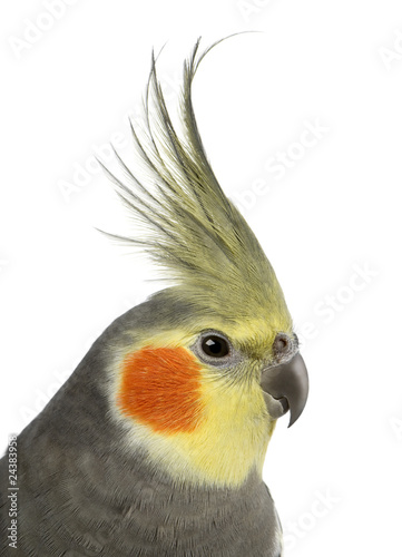 Cockatiel, Nymphicus hollandicus, in front of white background - 24383958