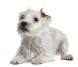 Parson Russell Terrier lying in front of white background