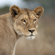 Close-up of Lioness in Serengeti, Tanzania, Africa
