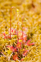 Common sundew