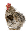 Curly Feathered Rooster Pekin, 1 year old, standing