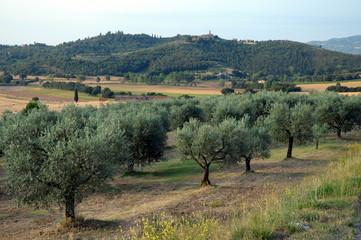Olivi delle campagne Umbre