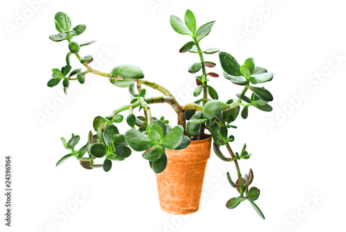 Succulent Crassula Tree With Water Drops in Terracotta Pot