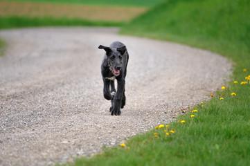 heranlaufender Deerhoundwelpe