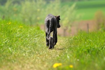 Deerhound läuft voran