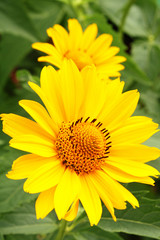 Two yellow arnica flowers in the garden