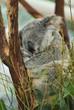 sleeping Koala 8