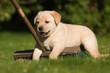 Labrador-Welpe spielt mit Besen