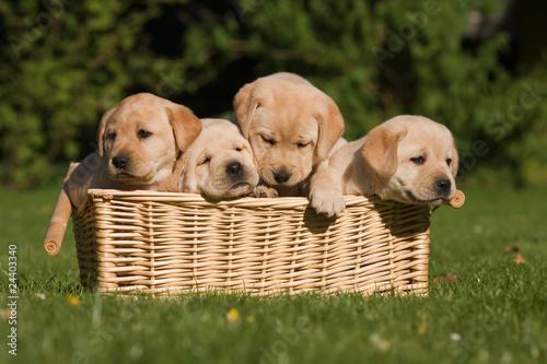 Labrador-Welpen im Korb