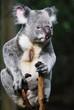Koala schauend 1