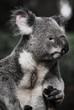Koala schauend 2