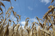 Field of ripening wheat against blue sky