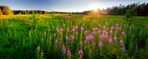 Field with Fireweed on sunset