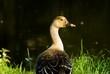 wild goose near the river