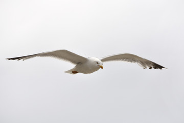 Gaviota volando sobre fondo blanco.