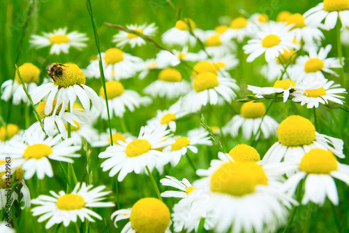Camomile flowers on wide field