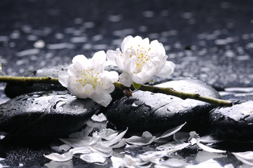 Black stones and white cherry  flower with petal on water drops