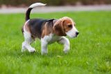Fototapeta pies - jeden - Zwierzę domowe
