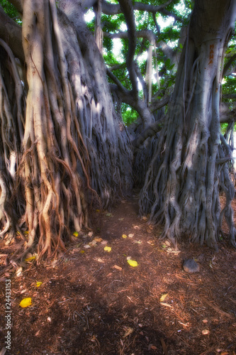 Huge jungle tree at Oahu, Hawaii