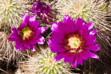 Hedgehog cactus blossoms