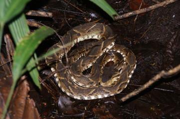 serpent - fer de lance