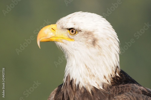 Bald eagle, alert and sharp