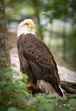 American Bald Eagle wildlife predator bird wild animal poster