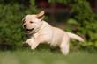 Labrador-Welpe läuft über die Wiese