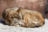 Grey Wolf, Canis lupus poster