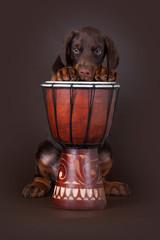 Puppy of Dobermann terrier and drum
