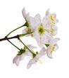 white cherry flowers close-up