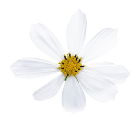 isolated white  flower with yellow center