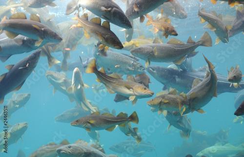 Staande foto Scandinavië Fish circling, Atlantic Sea Park, Norway