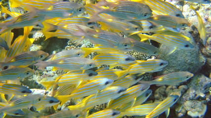 Shoal of Yellow Snapper