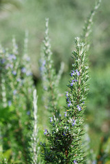 A rosemary bush with many flowers