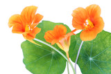 Isolated Nasturtium macro