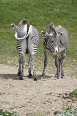 Pair of zebras facing opposite directions