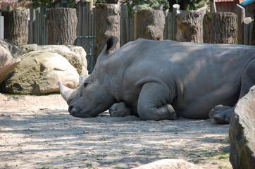 Hippopotame dans son milieu