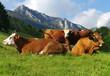 vaches à l' alpage