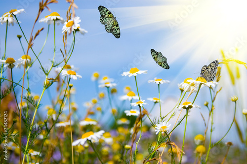 Field with daisies and butterflies