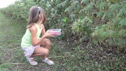 cueillette de framboises dans les champs