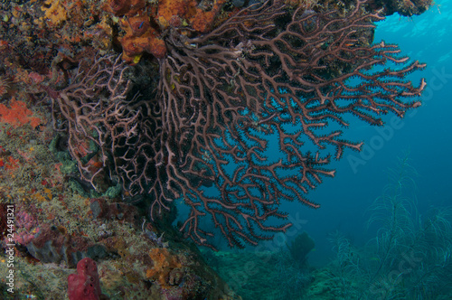 Sea Rod on a reef in Broward County, Florida