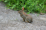 Cottontail Rabbit - Sylvilagus